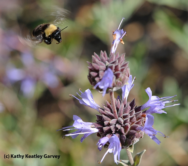 Black-faced bumble bee, Bombus californicus, heads for Cleveland sage, Salvia clevelandii. (Photo by Kathy Keatley Garvey)