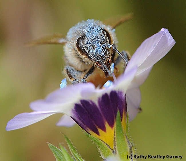 Blue pollen from a bird's eye blossom covers a honey bee. (Photo by Kathy Keatley Garvey)