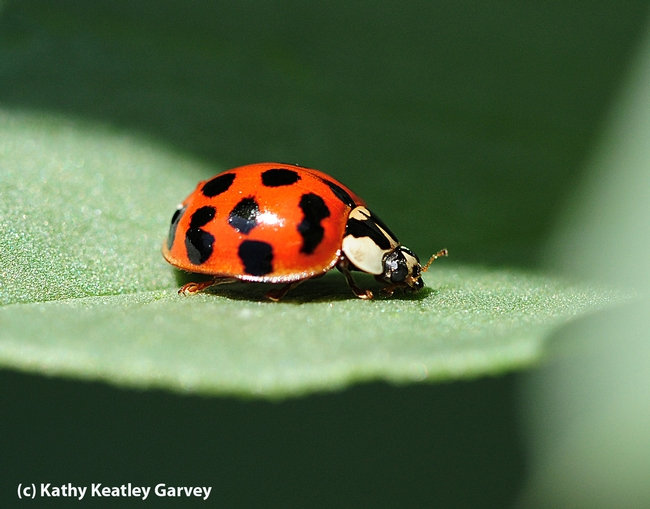A lady beetle, aka ladybug, prowling on a fava bean leaf. (Photo by Kathy Keatley Garvey)