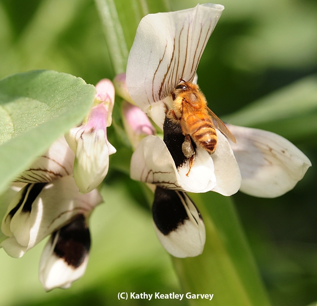 Honey bee foraging on a fava bean blossom. (Photo by Kathy Keatley Garvey)