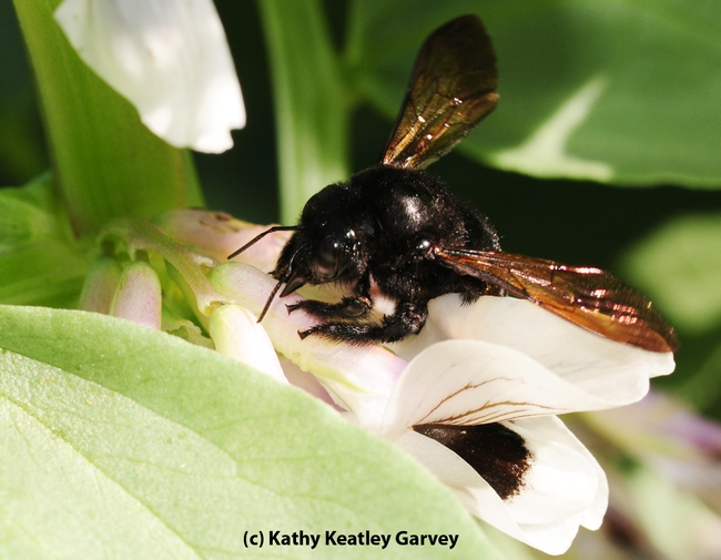 Female Valley carpenter bee robbing nectar by slitting the corolla. (Photo by Kathy Keatley Garvey)