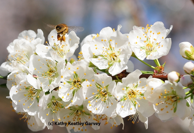 Pollen-packing honey bee heading home. (Photo by Kathy Keatley Garvey)