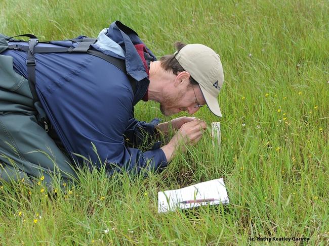 Jay Rosenheim, professor of entomology at UC Davis, doing research in a meadow. (Photo by Kathy Keatley Garvey)