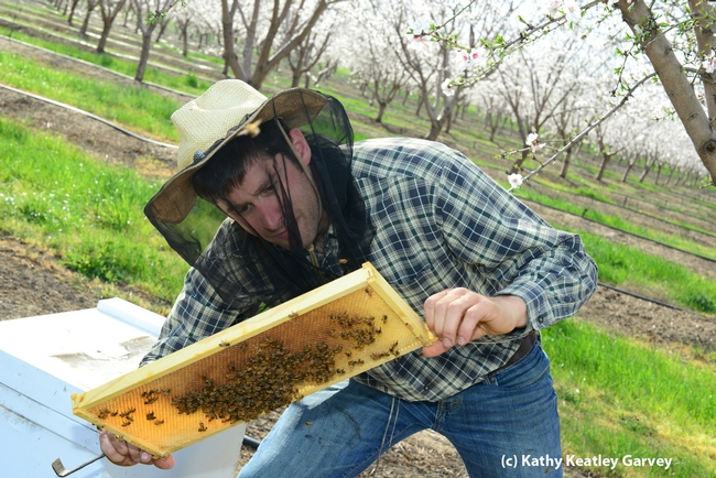 Beekeeper Billy Synk checks the productivity. (Photo by Kathy Keatley Garvey)