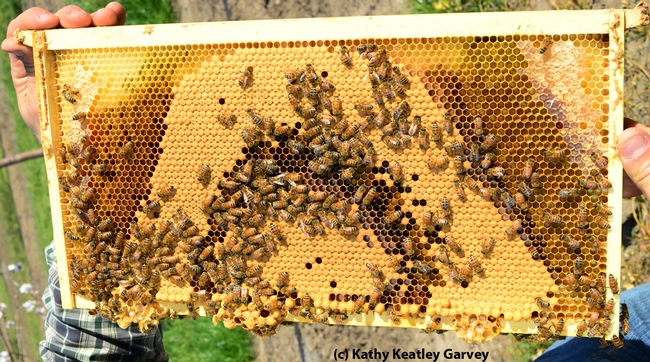 Checking out the bees. (Photo by Kathy Keatley Garvey)