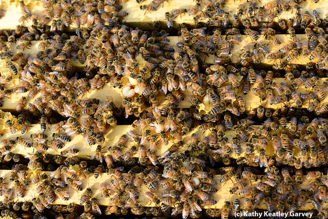 Close-up of the Laidlaw research bees. (Photo by Kathy Keatley Garvey)