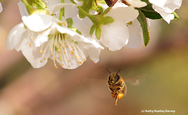 Honey bee adjusts her load.  (Photo by Kathy Keatley Garvey)