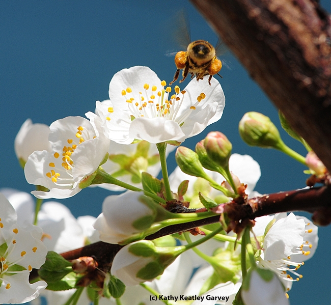 Honey bee loaded with pollen heading home. (Photo by Kathy Keatley Garvey)