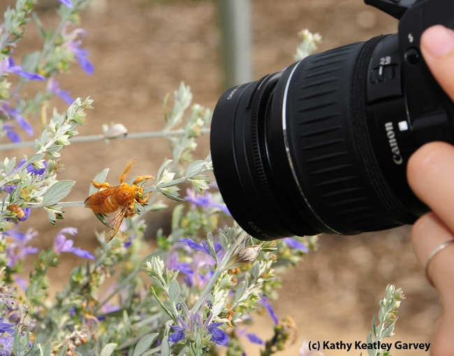Close-up of the bee and the camera lens. (Photo by Kathy Keatley Garvey)