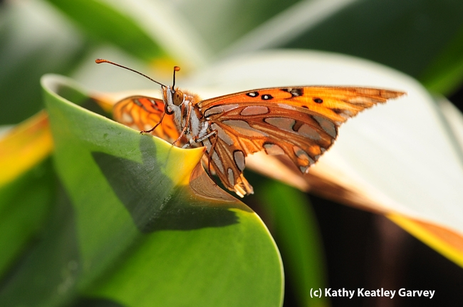 Gulf Fritillary butterfly touches down on the leaves of an Amaryllis, aka naked lady. (Photo by Kathy Keatley Garvey)