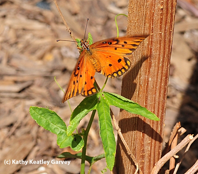 Gulf Fritillary checks out the leaves of a passion flower plant. (Photo by Kathy Keatley Garvey)