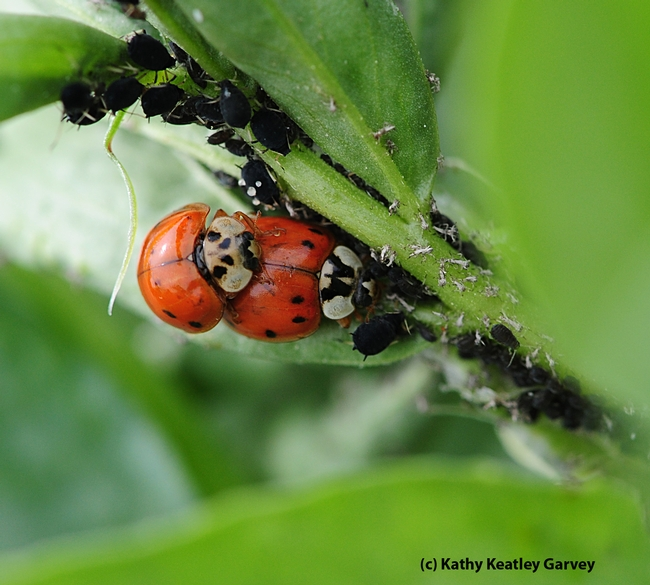 Ladybugs mating; the female continues to munch aphids. (Photo by Kathy Keatley Garvey)