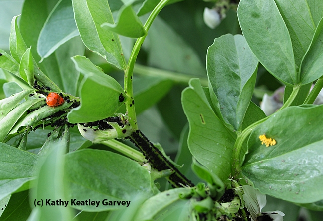 Panoramic view of ladybugs, aphids, and ladybug eggs. (Photo by Kathy Keatley Garvey)