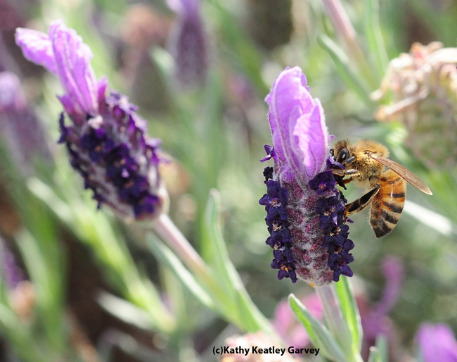Honey bee nectaring Spanish lavender. (Photo by Kathy Keatley Garvey)