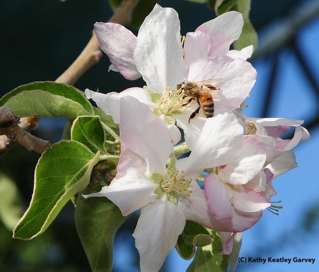 Honey bee gathering the sweet nectar. (Photo by Kathy Keatley Garvey)