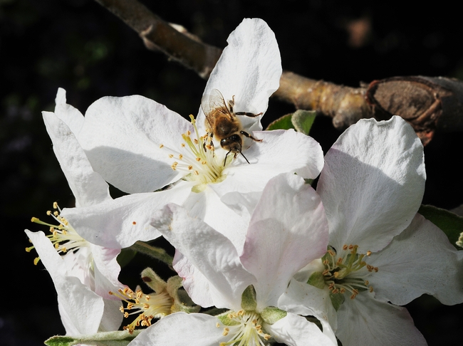 Honey bee about to take flight for another apple blossom. (Photo by Kathy Keatley Garvey)