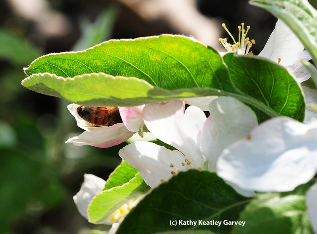 A honey bee tucked in her blanket of blossoms. (Photo by Kathy Keatley Garvey)