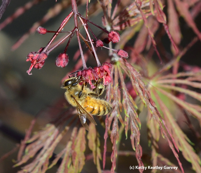 Close-up of honey bee foraging on a Japanese maple. (Photo by Kathy Keatley Garvey)