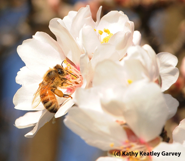 Close-up of honey bee on an almond blossom. (Photo by Kathy Keatley Garvey)
