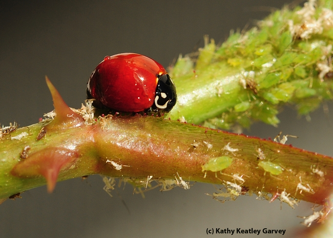 A gorged ladybug has just polished off a row of aphids. (Photo by Kathy Keatley Garvey)