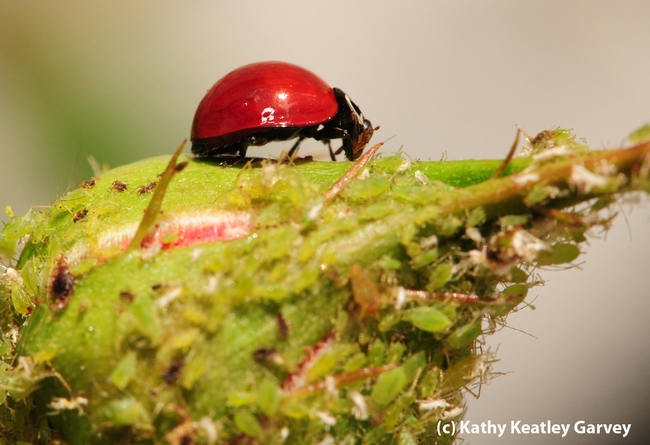How do beneficial  insects such as lady beetles utilize the landscape? Claudio Gratton will explain how in his April 10 lecture. (Photo by Kathy Keatley Garvey)