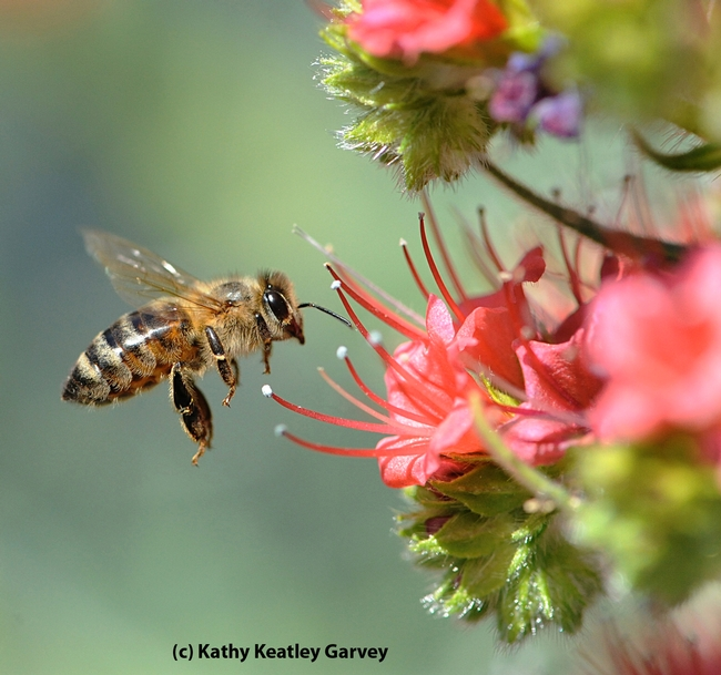 Honey bee heading toward tower of jewels, Echium wildpretii. (Photo by Kathy Keatley Garvey)