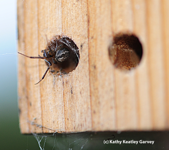Close-up of webweaving spider occupying space in the bee condo. (Photo by Kathy Keatley Garvey)