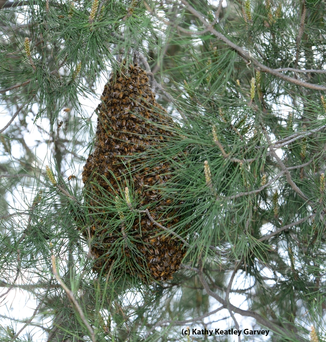 If this cluster were in southern California, these could be Africanized bees. (Photo by Kathy Keatley Garvey)