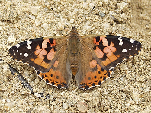 PAINTED LADIES are now passing through north-central California. This one passed through during the 2005 migration. (Photo courtesy of Arthur Shapiro)