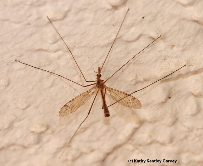 From above, the crane fly looks like all legs. (Photo by Kathy Keatley Garvey)