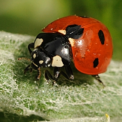 Ladybugs will be given away to children. (Photo by Kathy Keatley Garvey)