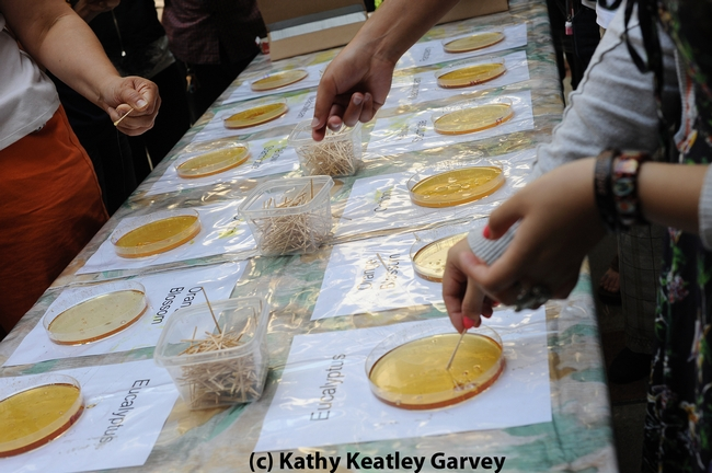 Honey-tasting is a popular activity at Briggs Hall during the UC Davis Picnic Day. (Photo by Kathy Keatley Garvey)