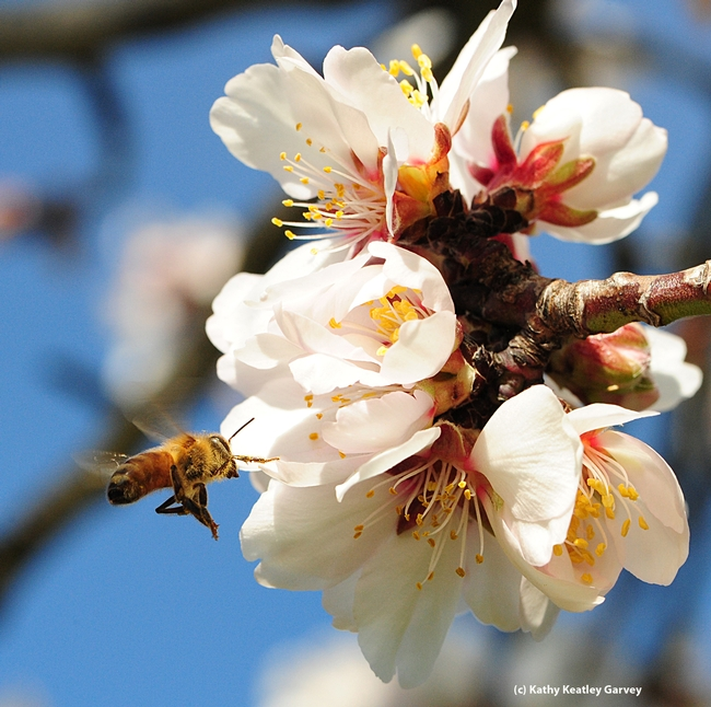 Honey bee heading toward almond blossom. Almond blossom honey will be one of the honeys to be sampled at the UC Davis Picnic Day. (Photo by Kathy Keatley Garvey)