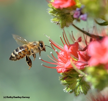 This photo is on a gift card available at the Honey and Pollination Center. (Photo by Kathy Keatley Garvey)