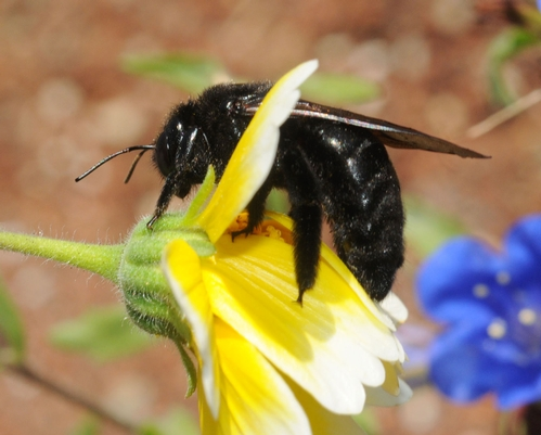 Carpenter Bee on Tidy Tips