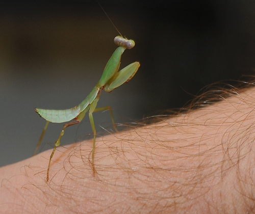 Hooded Praying Mantis