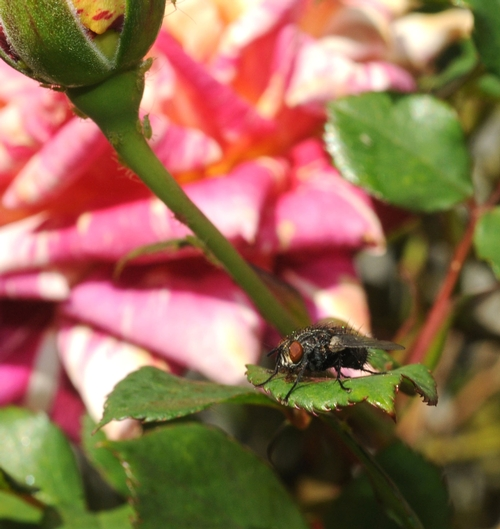 FLY ON A ROSE--We're accustomed to seeing insects on roses, but not flies. (Photo by Kathy Keatley Garvey)