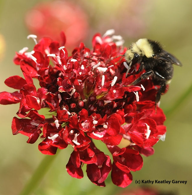 Yellow-faced bumble bee, Bombus vosnesenskii, on Scabiosa. (Photo by Kathy Keatley Garvey)