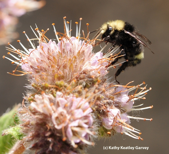 Side view of bumble bee, Bombus vandykei. (Photo by Kathy Keatley Garvey)
