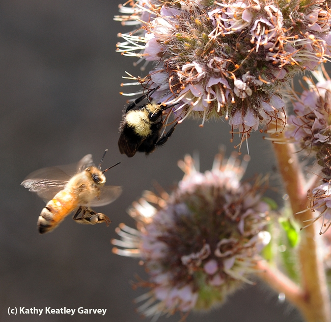 Competition for the phacelia! (Photo by Kathy Keatley Garvey)