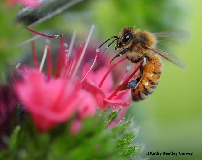 Honey bee foraging on tower of jewels. (Photo by Kathy Keatley Garvey)