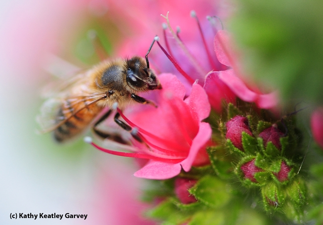 Almost like a painting, this photo of a honey bee contributes to the softer side of life. (Photo by Kathy Keatley Garvey)