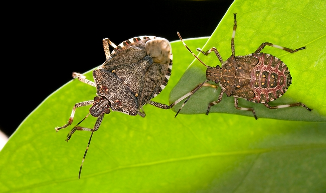 Brown marmorated stink bugs. (USDA, Stephen Ausmus)