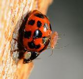 Aphid on a ladybug