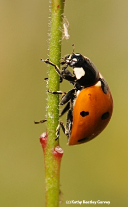 Ladybugs will keep the aphid population down. (Photo by Kathy Keatley Garvey)