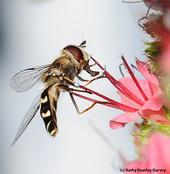 Syrphid fly nectaring on tower of jewels, Echium wildpretii. (Photo by Kathy Keatley Garvey)