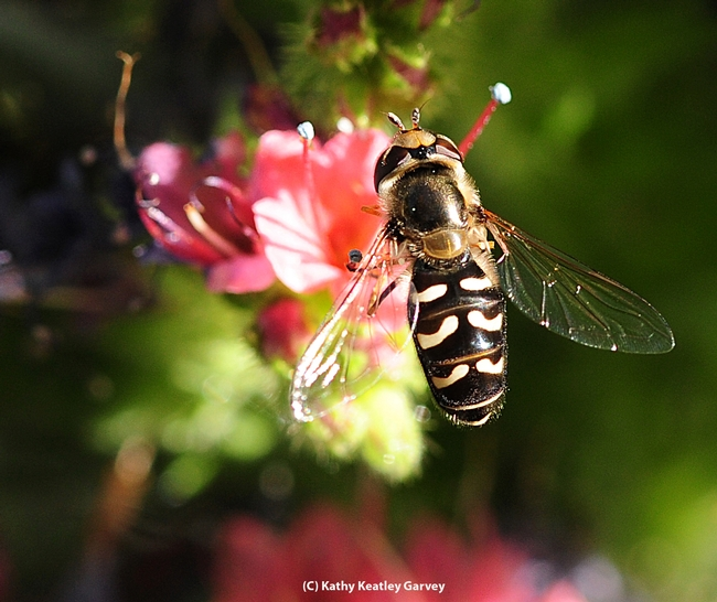 Syrphid sparkles in the early morning sun. (Photo by Kathy Keatley Garvey)