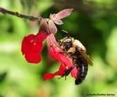 Carpenter bee, Xylocopa  tabaniformis orpifex, robbing nectar from salvia. (Photo by Kathy Keatley Garvey)