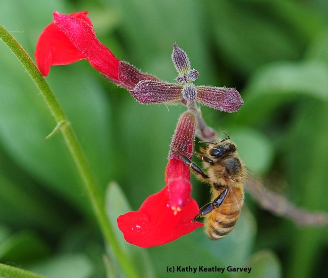 Honey bee gathering nectar from a carpenter bee's pierced hole in the long tube of a salvia.  (Photo by Kathy Keatley Garvey)