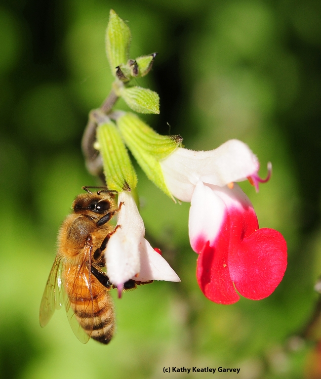 Another honey bee reaping the benefits of nectar robbing by a carpenter bee. (Photo by Kathy Keatley Garvey)